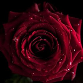 Почему на День святого Валентина дарят цветы?